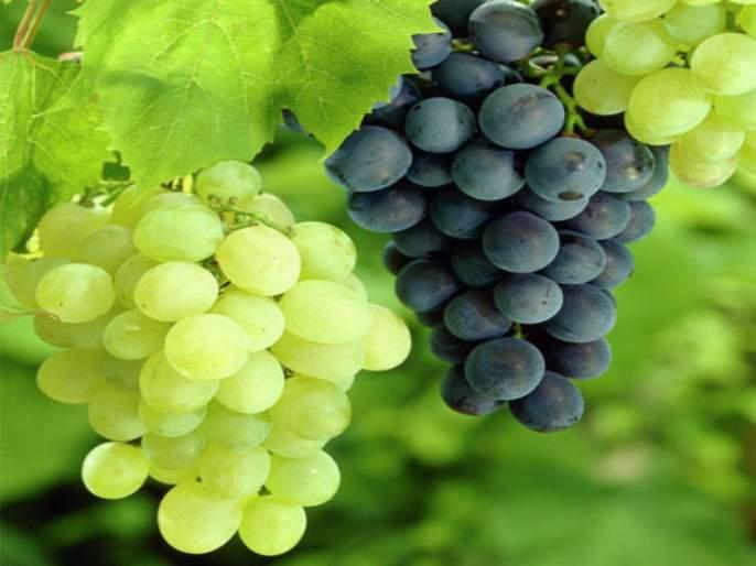 Grape exports declined by 10,000 tonnes; Decrease in production by 30-40% | द्राक्ष निर्यात १० हजार टनांनी घटली ; उत्पादनात ३० ते ४० टक्के घट