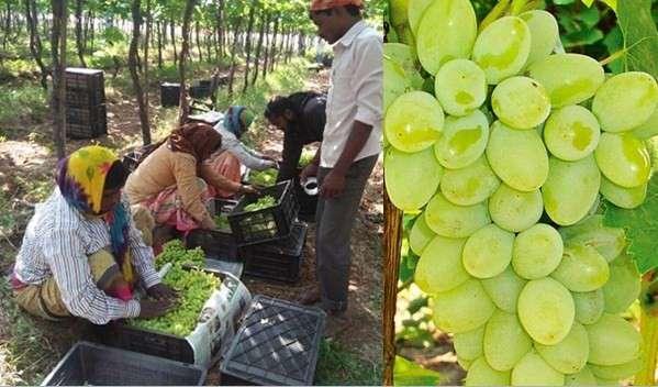 Due to premature shipment of exportable grapes | अवकाळीमुळे निर्यातक्षम द्राक्षांवर संक्रांत
