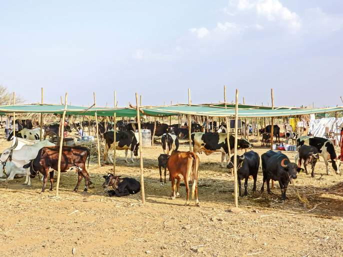 fodder camp in Mhaswad saving cattle and farmers in drought | जनावरं आणि माणसं जगवणारी छावणी!