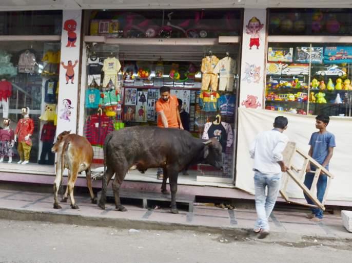 Panic of live animals infiltrating live shops in Solapur | थेट दुकानातच घुसणाºया जनावरांची सोलापुरातील नवीपेठेत दहशत