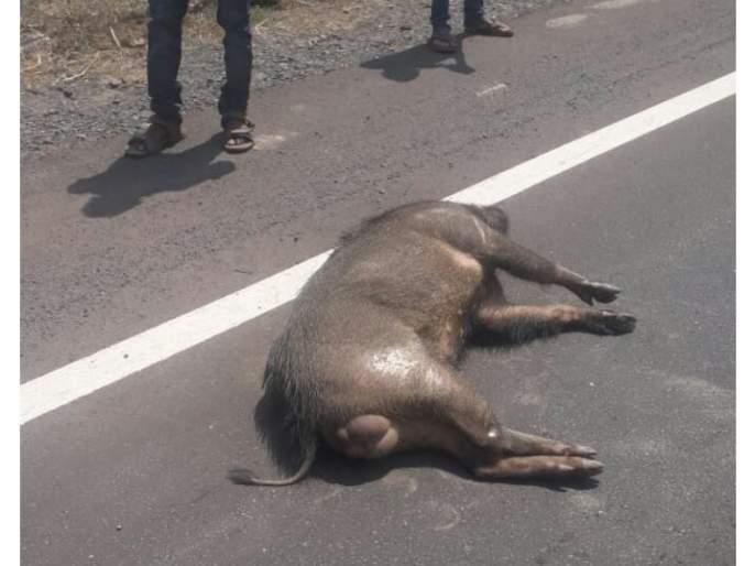 A bull was killed in a car collision at Kudal-Pandoor | कुडाळ-पणदूर येथे कारच्या धडकेत रानडुक्कर ठार