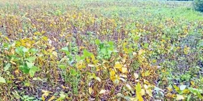 Soybean farming caused losses; Farmers in trouble | सोयाबीन शेती झाली तोट्याची; शेतकरी अडचणीत