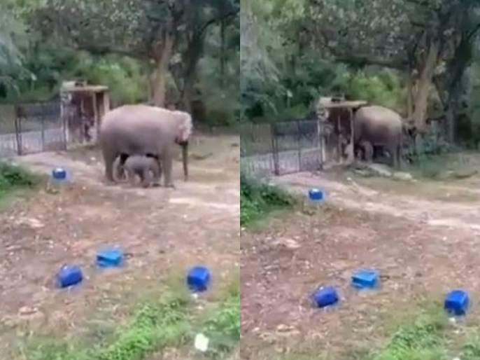 Watch viral video of elephant and its calf broke a walled construction | Video : आपल्या पिल्लासह कैद झाली होती हत्तीण, बघा भिंत तोडून कशी करून घेतली सुटका!