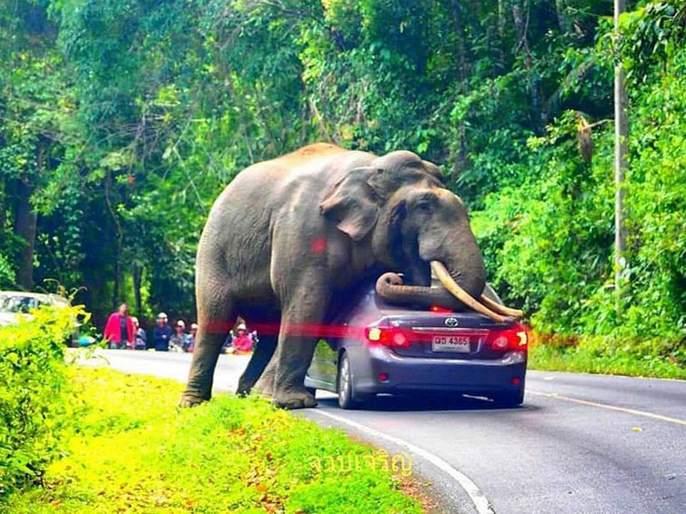 Video: Elephant Squishes Car in Khao Yai National Park in Thailand   Video : हत्ती कारवर बसणार होता इतक्यात ड्रायव्हरने केली आयडियाची कल्पना अन्....