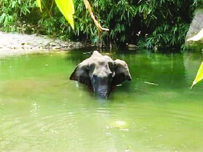 Another elephant dies, jaw fractures due to firecrackers going through fruit | आणखी एका हत्तिणीचा मृत्यू, फळांमधून फटाके तोंडात गेल्याने जबड्यांना फ्रॅक्चर