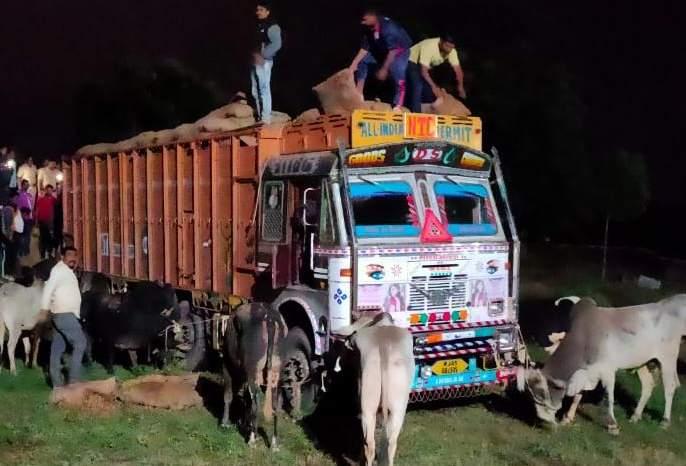 Illegal cattle truck caught in Faizpur   फैजपूर येथे गुरांची अवैध वाहतूक करणारा ट्रक पकडला