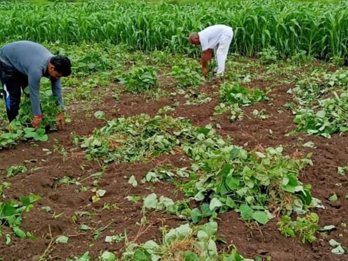 11 acres of Mug crop uprooted and thrown away! | ११ एकरातील मुगाचे पीक उपटून फेकले!