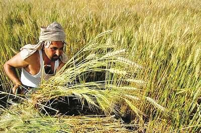 Cloudy weather terrified farmers; Impact on cereal crop | ढगाळ वातावरणाने शेतकरी धास्तावले; कडधान्य पिकावर परिणाम होण्याची शक्यता