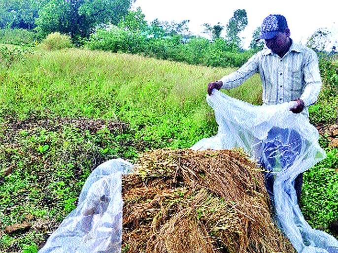rice paddy goes, torrential rains in Vikramgarh | उरलीसुरली भातशेतीही गेली, विक्रमगडमध्ये मुसळधार पाऊस, पिके कुजून गेली