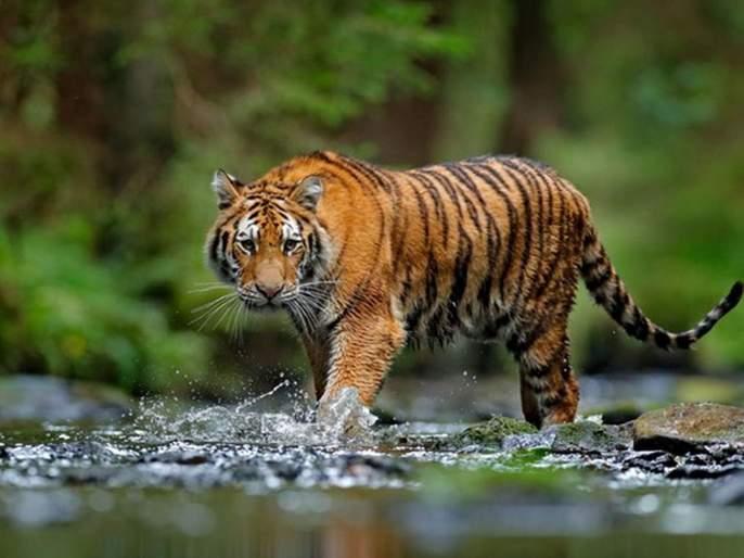 India alone accounts for 70% of the world's tigers: Javadekar | जगातील ७० टक्के वाघ एकट्या भारतात-जावडेकर