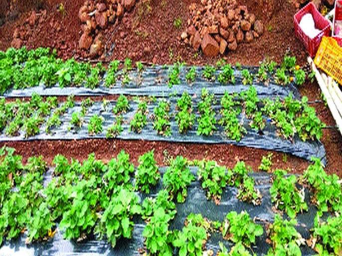 uncerten rains brings strawberry growers to a halt! | अवकाळीने आणली स्ट्रॉबेरी उत्पादकांना अवकळा!