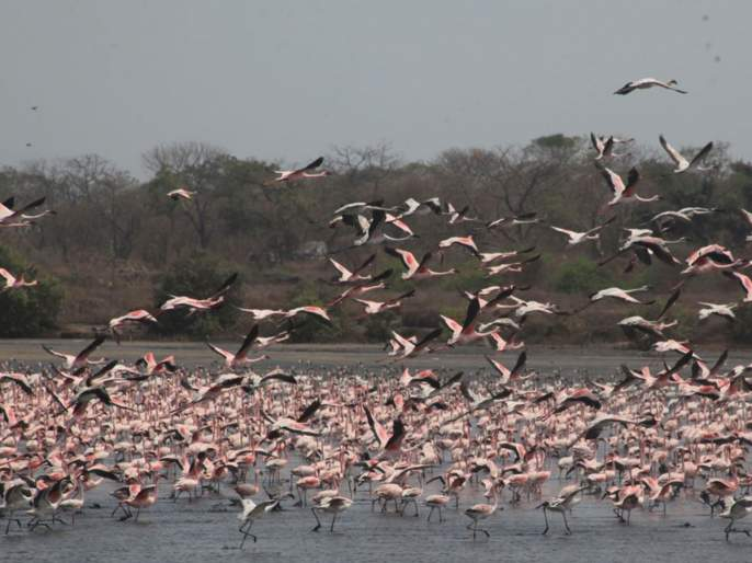 migratory birds have died so far in sambhar lake of rajasthan due to botulism | राजस्थानमध्ये आठ दिवसांत 17,000 पक्ष्यांचा मृत्यू