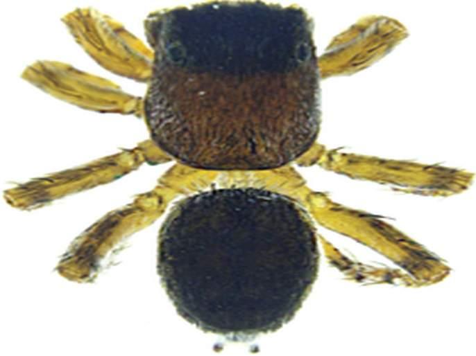 Discovery of a new species of spider; Congratulations will be known as Vardhman | कोळ्याच्या नव्या प्रजातीचा शोध; अभिनंदन वर्धमान यांच्या नावाने ओळखला जाणार