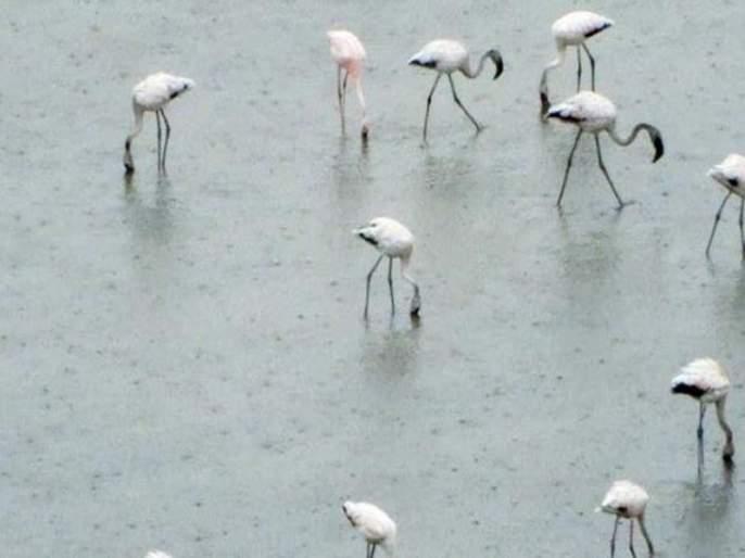 Flamingos are domiciled because of the payment | भरावामुळे फ्लेमिंगोंचा अधिवास होतोय नष्ट