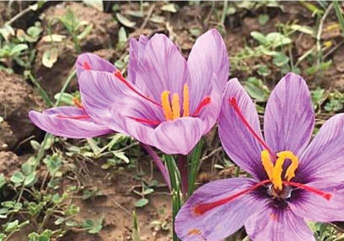 After Kashmir, saffron will be produced in Mahabaleshwar   काश्मीरनंतर महाबळेश्वरमध्ये होणार केशर उत्पादन