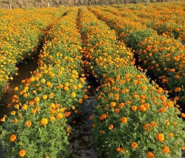 Corona loses floral aroma: billions hits to flower growers   कोरोनामुळे फुलांचा सुगंध हरवला: फूल उत्पादकांना कोट्यवधींचा फटका