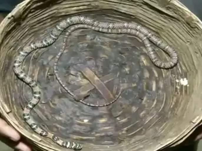 Odisha flying snake was seized from possession of a man in bhubaneswar viral video | VIDEO : येथे सापडला दुर्लभ प्रजातीचा साप; हवेत उडून करतो शिकार