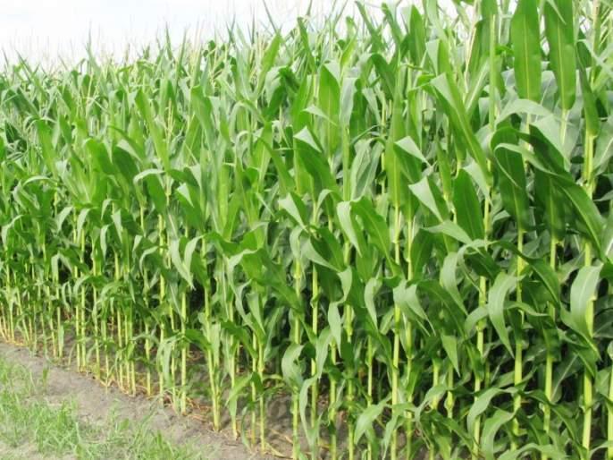 Fodder scarcity may occur this year due to heavy rains   अवकाळी पावसामुळे यंदा उद्भवणार चाराटंचाईचे संकट