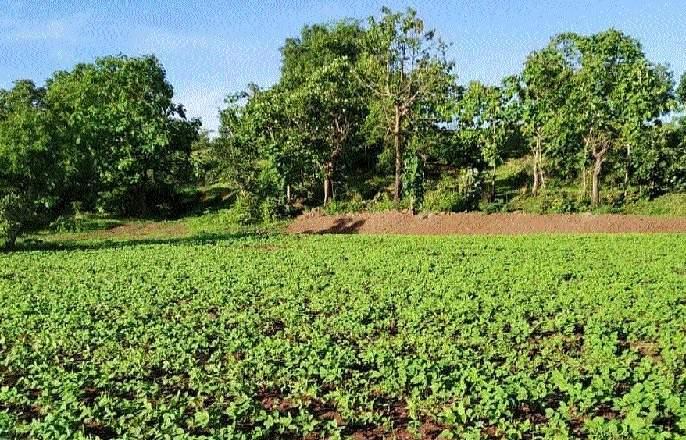 Sowing of millet, beans is higher: sowing of kharif 4% | बाजरी, सोयाबीनचा पेरा जास्त : खरिपाची पेरणी १०५ टक्के ; पावसामुळे भुईमुगाला अडचण