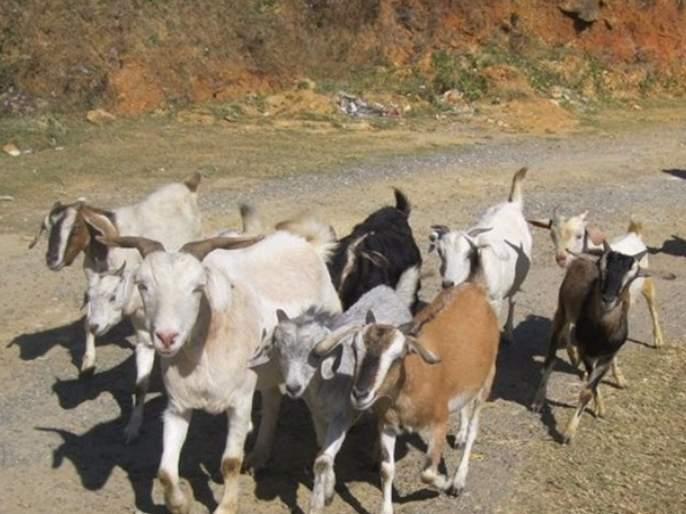 OMG! cowherd was CoronaVirus positive; Quarantined 47 goats in Karnataka | झोपच उडाली! गुराख्याला कोरोना झाला; कर्नाटकात 47 बकऱ्या केल्या क्वारंटाईन