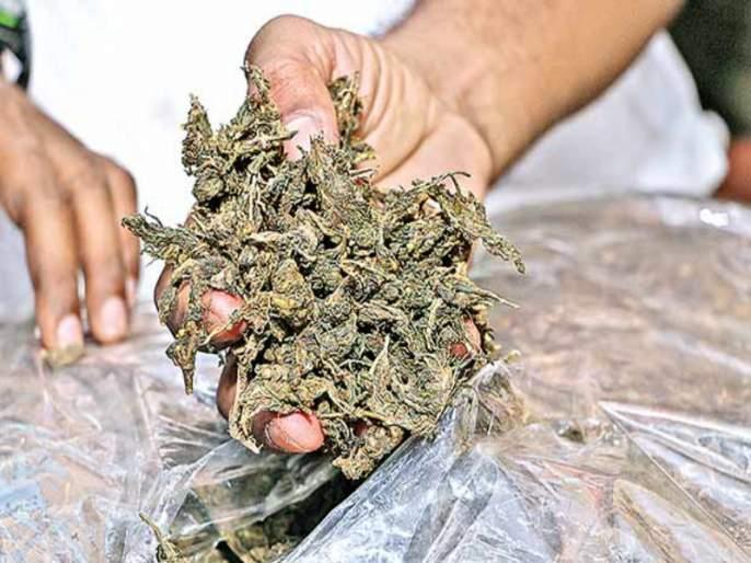 100 kg of ganja seized from Chanakya Travels bus | चाणक्य ट्रॅव्हल्सच्या बसमधून100 किलो गांजा जप्त
