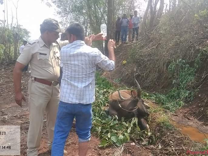 The medical team of the forest department succeeded in saving the life of the wild cow   जंगली गव्याचे प्राण वाचविण्यात वनविभागाच्या वैद्यकीय पथकाला यश