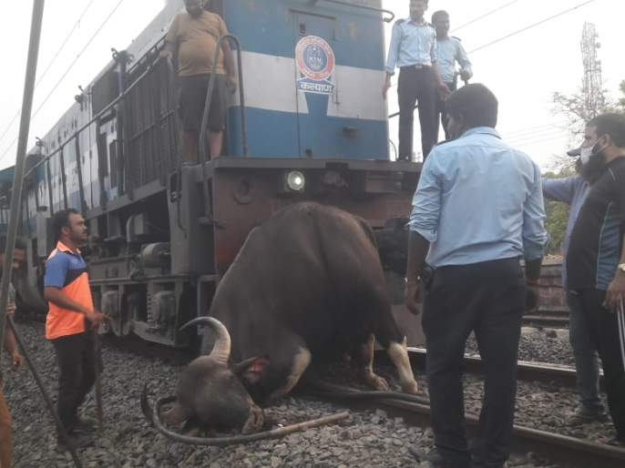 Gavareda dies in train collision | रेल्वेच्या धडकेने गवारेड्याचा मृत्यू
