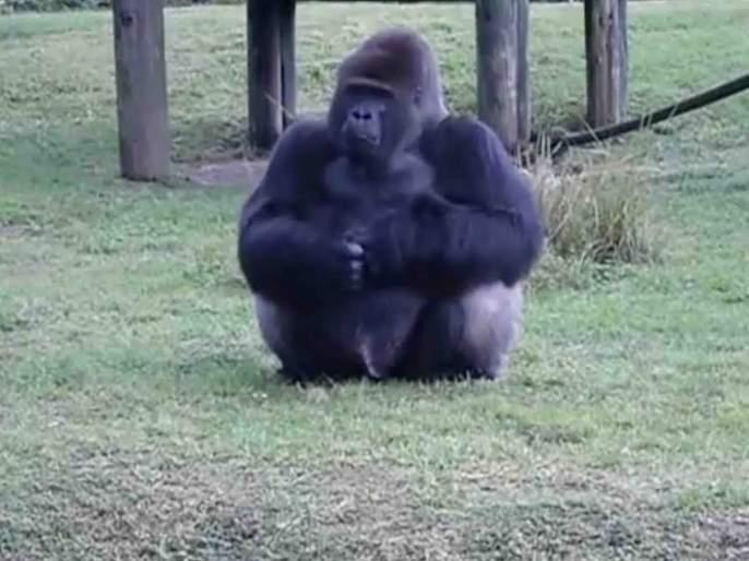 Miami zoo gorilla sign language viral video wins internet   VIDEO : खायला देणाऱ्याला गोरिलाने दिलं असं उत्तर; पाहणारेही झाले अवाक्