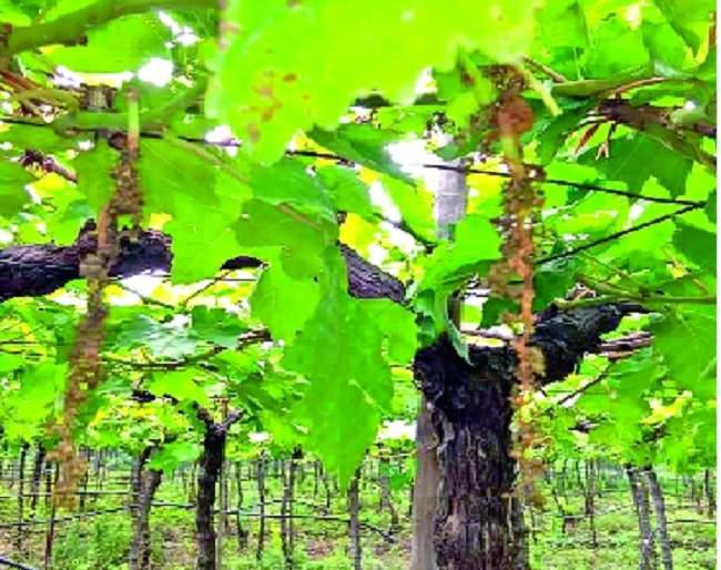Forty thousand acres hit the vineyards | सांगली जिल्ह्यात अवकाळीने ऊसतोडी थांबल्या : चाळीस हजार एकर द्राक्षबागांना फटका