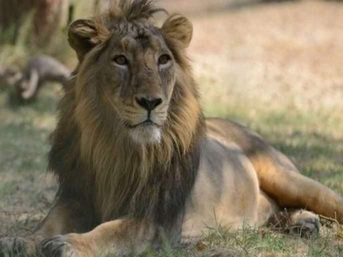Gujarat's lion will soon come to Mumbai | गुजरातचा सिंह लवकरच येणार मुंबईत