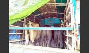 Transport of cattle; Two arrested in Fondaghat: Two-day police custody | गुरांची वाहतूक; दोघांना अटक, फोंडाघाट येथील घटना