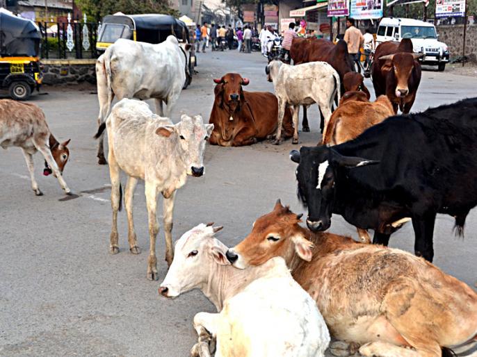 Three injured in Mokat cattle attack at Jamner   जामनेर येथे मोकाट गुरांच्या हल्ल्यात तीन जखमी