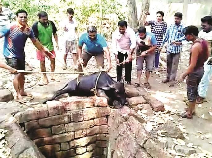 Mhas went out of the ditch - Mealavan incident   म्हैस निघाली खड्ड्यातून बाहेर -मालवण येथील घटना