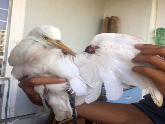 Nylon Cage Trap: Weekly Failure For 28 birds   नायलॉन मांजाचा सापळा : आठवड्यात २८ पाखरे जायबंदी