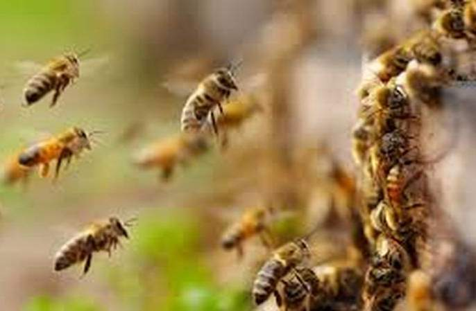 Woman killed in honey bee attack | मधमाशांच्या हल्ल्यात महिलेचा मुत्यू