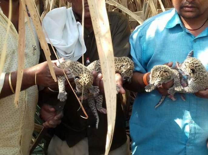 Four pigeons leopard found in the canyon! | उसाच्या फडात सापडली बिबट्याची चार पिले!
