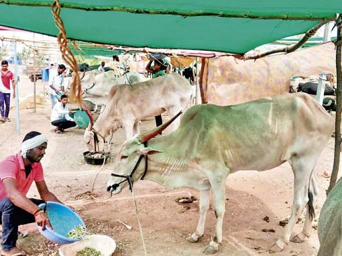 Mhaswad: cattle camp & life of rural drought affected youth in Satara District | मु.पो.म्हसवड : आयुष्य सरळ पण नाय चालत ना?