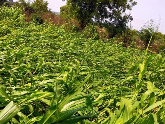 Parbhani district receives wheat, sorghum due to untimely rains | अवकाळी पावसाने शेतकरी अडचणीत; परभणी जिल्ह्यात गहू, ज्वारीचे अतोनात नुकसान