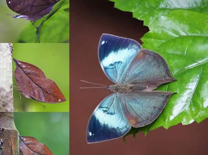 Blueberry butterfly found in Devrukha | देवरूखात आढळले नीलपर्ण जातीचे फुलपाखरू