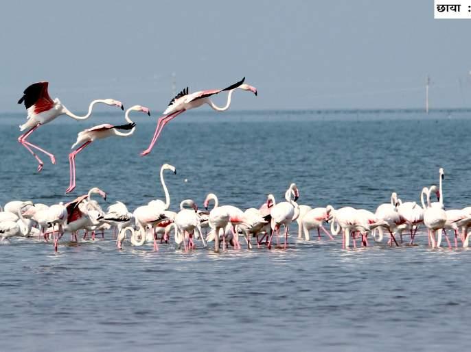 Nityaagara visitors' birds stay afloat | नाथसागरावर पाहुण्या पक्ष्यांचा मुक्काम लांबला