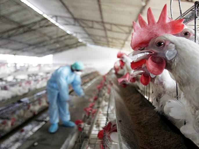 Bird flu alert : Bird flu current situation updates uttar pradesh madhya pradesh delhi   चिंताजनक! महाराष्ट्रासह ८ राज्यात बर्ड फ्लूचा शिरकाव; प्रोसेस्ड चिकनवरही बंदी