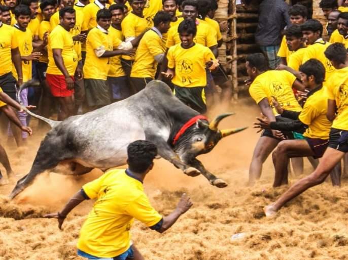 One student died, 25 injured in Jaliktu sport in Tamil Nadu | तामिळनाडूमधल्या जलीकट्टू खेळादरम्यान एका प्रेक्षकाचा मृत्यू, 25 जखमी