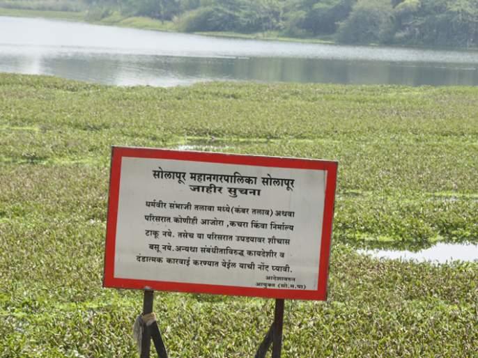 Sauvapani lake of Sambhaji Tiwhora is located in Solapur | सोलापुरातील संभाजी तलावाला जलपर्णीचा विळखा सुटेना