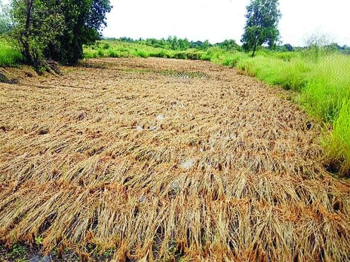 Loss of paddy in the field; Farmers in the district are worried | भिवंडीत भातशेतीचे नुकसान; तालुक्यातील शेतकरी चिंतातुर