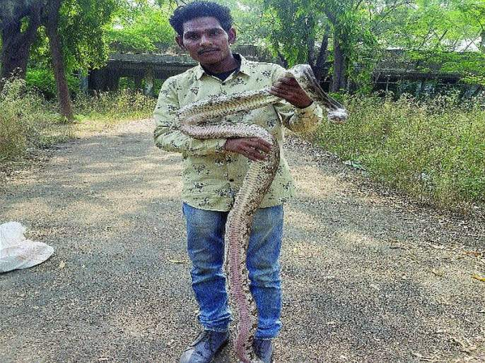 A seven-foot dragon caught by a snake mate in Ghanoli | घणसोलीत सर्पमित्राने पकडला सात फुटांचा अजगर