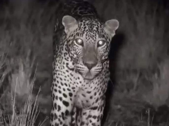 Leopard A stay at the Gokul Society in nagpur   गोकुल सोसायटीत बिबट्याचा मुक्काम