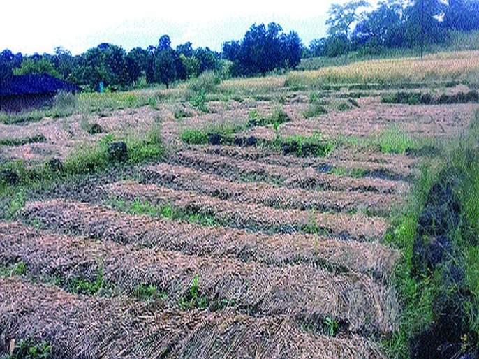 Loss of crops due to rainfall; Farmers are excited | पावसामुळे पिकांचे नुकसान; शेतकरी हवालदिल
