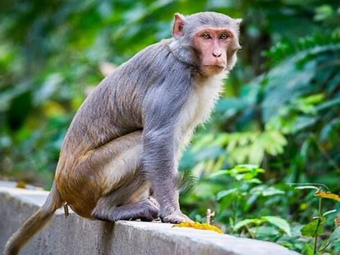 Easy to catch a time tiger, but difficult to catch a monkey | एक वेळ वाघ पकडणे सोपे, पण माकड पकडणे अवघड