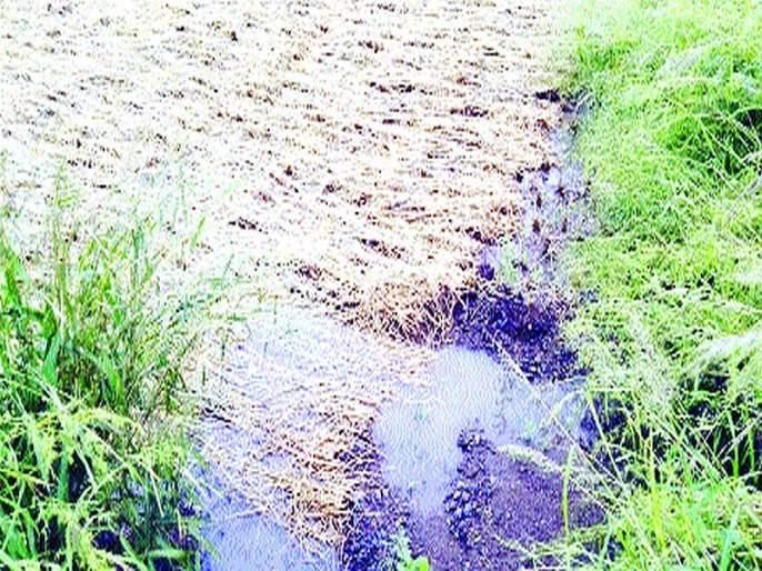 The seedlings sown in Kinhwali were soaked in rain | किन्हवलीत कापलेली रोपे पावसात भिजली; शेतकरी हवालदिल
