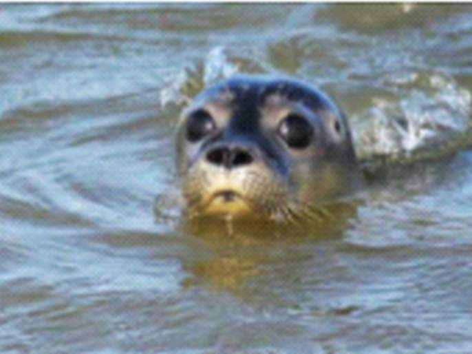 Rare waterfowl live in the Amba river in Pali; Enthusiasm among environmentalists | पालीतील अंबा नदीत दुर्मीळ पाणमांजराचे वास्तव्य; पर्यावरणप्रेमींमध्ये उत्साह
